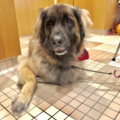 Stella is a therapy dog working with EACPHS researcher Christine Johnson